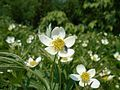 Anemone canadensis 2017-05-23 0465.jpg