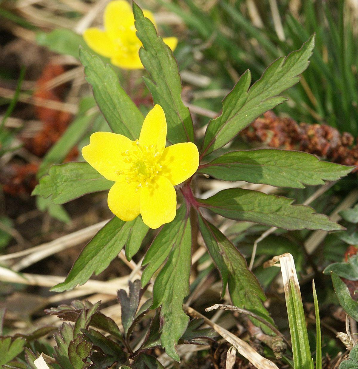 Which Plant Was Native To The New World: Wikipedia, La Enciclopedia Libre
