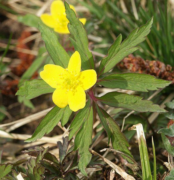 Archivo:Anemone ranunculoides 300303.jpg