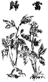 Angelica sinensis Bild.png
