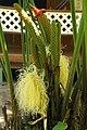 Angiosperms in Costa Rica (8438944191).jpg
