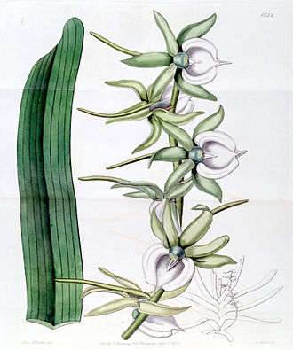 Angraecum eburneum - Image: Angraecum eburneum Edwards vol 18 pl 1522 (1832)