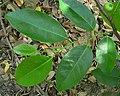 Annona glabra feuilles.jpg
