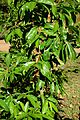 Annona muricata in Jardin des Plantes de Toulouse 02.jpg