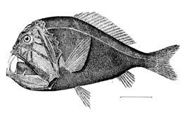 deep sea fish wikipedia