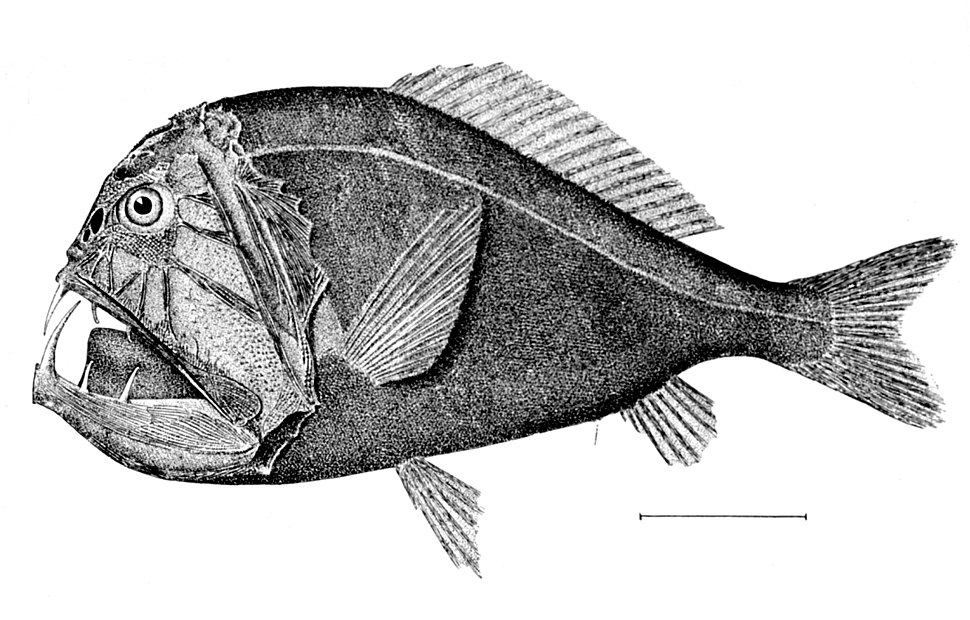 Anoplogaster cornuta 2