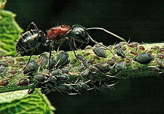 An ant guards its aphids