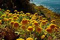 Anthemis chrysantha518.jpg