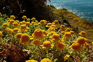 Anthemis chrysantha - In La Azohía.