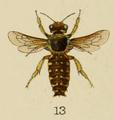 Anthidium ordinatum Bingham 1897.png