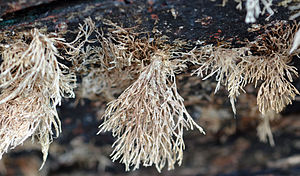 Biofouling - Dead biofouling, under a wood boat (detail)