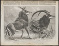 Antilope niger - 1861 - Print - Iconographia Zoologica - Special Collections University of Amsterdam - UBA01 IZ21400245.tif