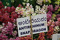 Antirrhinum snap dragon at lalbagh7364.JPG