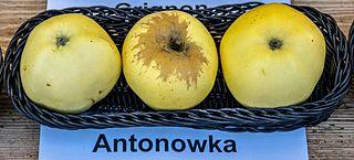 Antonovka Apple cultivar