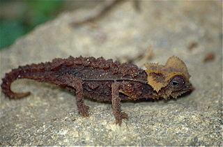 Antsingy leaf chameleon Species of lizard