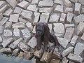 Ape - Orangutan - വാലില്ല കുരങ്ങൻ 04.JPG