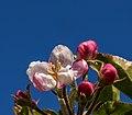 Apfelblüte IMG 1279.jpg