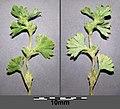 Aphanes australis sl36.jpg