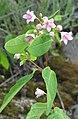 Apocynum androsaemifolium RF.jpg