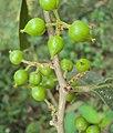 Aporosa cardiosperma 06.JPG