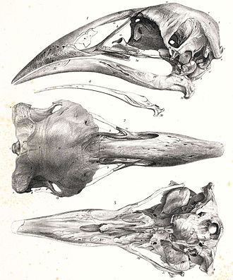 Adzebill - A. defossor skull drawn by James Erxleben