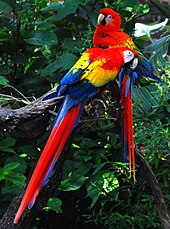 Two macaws sitting in a tree; both have red head and upper body feathers, yellow midsection feathers, blue lower body and wing tip feathers, and predominantly red tails with blue streaks