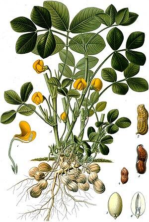 Peanut - Image: Arachis hypogaea Köhler–s Medizinal Pflanzen 163