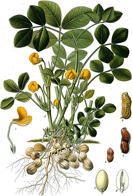 Kacang_tanah