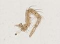 Araneae (YPM IZ 093508).jpeg