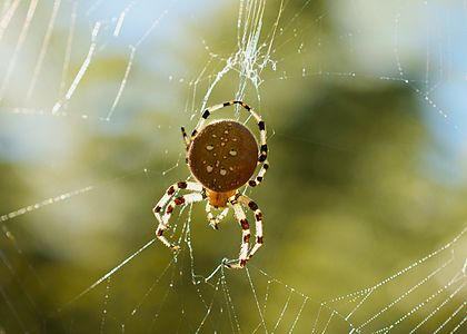 Araneus Diadematus (Pumpkin Spider) seen during Autumn in San Fransico