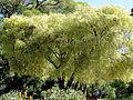 Arbre dans le jardin botanique de Perth.JPG