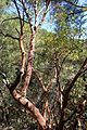 Arbutus andrachne kz7.jpg