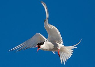 Reciprocal altruism - Arctic terns protect their offspring extremely aggressively by very quick drop-downs from a stationary flight over their enemies. Other birds often benefit from this behavior by breeding very close to the Arctic terns.