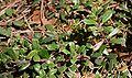 Arctostaphylos uva-ursi pędy z liśćmi 04.07.10 p.jpg