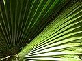 Arecaceae in iran نخل ها در ایران 04.jpg