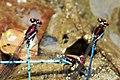Argia cupraurea - Ruby Dancers mating (42935778821).jpg