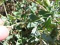 Aristolochia pistolochia hoja.jpg