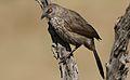 Arrow-marked Babbler, Turdoides jardineii, at Pilanesberg National Park, Northwest Province, South Africa (29681266275).jpg