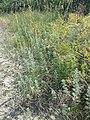 Artemisia pontica sl13.jpg