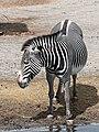 Artis Zebra (35709950284).jpg