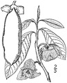 Asimina triloba (L.) Dunal Pawpaw.tiff