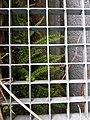 Asplenium trichomanes subsp. quadrivalens sl4.jpg