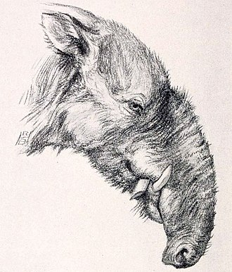 Astrapotherium - Restoration of the head by Robert Bruce Horsfall