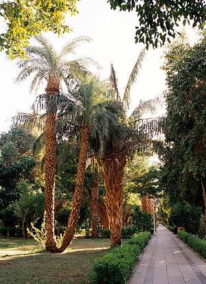El Nabatat Island - Image: Aswan, Kitchener's Island, palm trees, Egypt, Oct 2004