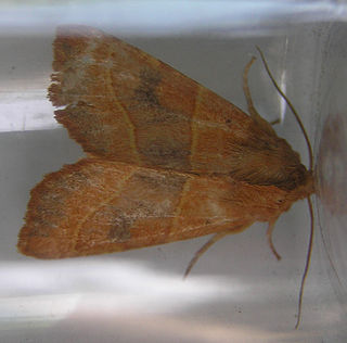 <i>Atethmia centrago</i> species of insect