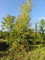 Auchy-au-Bois - Terril n° 35A, 3 bis de Ligny Ouest (08).JPG