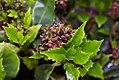 Aucuba japonica Emily Rose 0zz.jpg