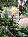 Aussie Protea - panoramio.jpg