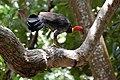Australian Brush-turkey (Alectura lathami) (6837884163).jpg