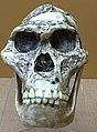 Australopithecus africanus StS-5 IMG 5617 BMNH.jpg